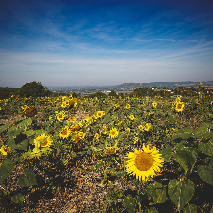 Late summer's warm glow in the fields of Aquitaine