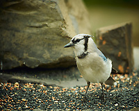 Blue Jay. Image taken with a Nikon D4 camera and 600 mm f/4 VR lens (ISO 320, 600 mm, f/4, 1/200 sec).