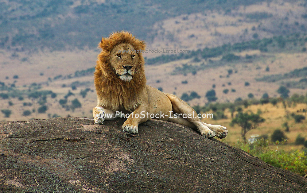 Majestic Lion on the lookout on a rock Photographed at Ngorongoro Conservation Area (NCA), Tanzania