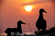 black-footed albatrosses, Phoebastria nigripes, at sunset, Sand Island, Midway Atoll, Midway National Wildlife Refuge, Papahanaumokuakea Marine National Monument, Northwest Hawaiian Islands, USA ( North Pacific Ocean )
