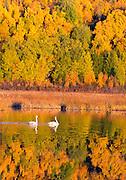 Alaska. Trumpeter Swans (Cygnus buccinator) highlighting autumn color splendor, Anchorage.