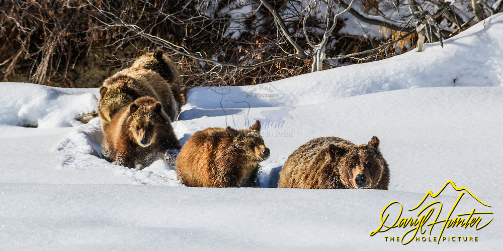Grizzly 399 heading to the den to start 2021 with a nap.<br /> <br /> 2X1 ration print, can make different ratios by special order.