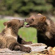 Grizzly Bear, (Ursus horribilis) Montana. Spring cubs.  Captive Animal.