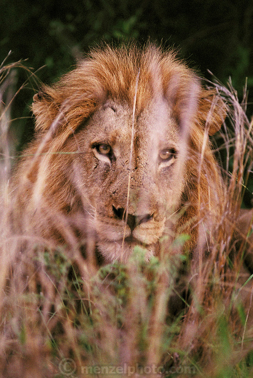 A male lion lying in the grass at dawn in Kruger National Park. Northern Transvaal, South Africa.