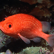 Cardinal Soldierfish are reclusive hiding in dark recesses in the reefs of the West Tropical Atlantic; picture taken St. Lucia.