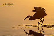 Reddish egret displaying showy feeding dance behavior at Ding Darling National Wildlife Refuge in Sanibel Island, Florida, USA