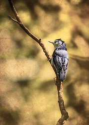 A White-Breasted Nuthatch on a tree branch with a moody vibe