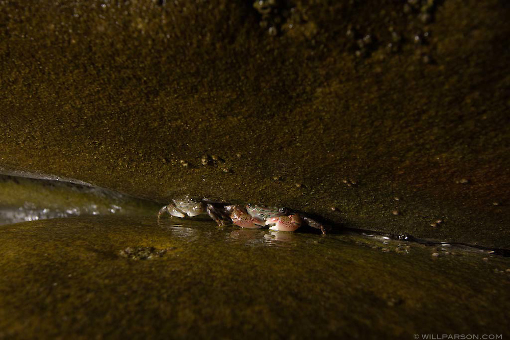 Two crabs wedge themselves between rocks at the Scripps Coastal Reserve in La Jolla, California.