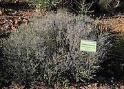 Thymbra capitata plant botanical gardens at Rodalquilar, Cabo de Gata natural park, Almeria, Spain