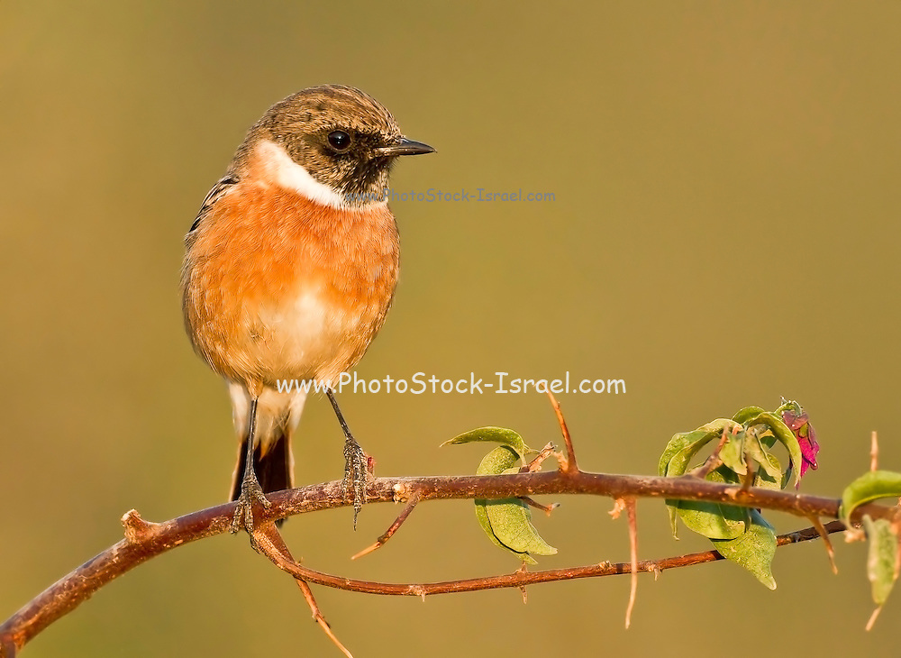 Female common stonechat, or  European Stonechat (Saxicola rubicola). This small songbird gets its name from its call, which sounds like two stones being knocked together. It lives in open heathland, swooping down from a vantage point to take insects on the ground or sometimes in the air. It nests on or near to the ground. This bird is found throughout Europe, in the Middle East and in southern and eastern Africa.
