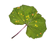 coltsfoot rust<br /> Puccinia poarum