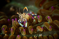 Anemone Shrimp, Periclimenes holthuisi, in an anemone. Pak Lap Tsai, Sai Kung East Country Park, Hong Kong, China.<br /> This Image is a part of the mission Wild Sea Hong Kong (Wild Wonders of China).