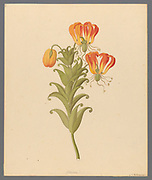 Gloriosa [Gloriosa superba] (1817) Common names include flame lily, climbing lily, creeping lily, glory lily, gloriosa lily, tiger claw, agnishikha and fire lily. from a collection of ' Drawings of plants collected at Cape Town ' by Clemenz Heinrich, Wehdemann, 1762-1835 Collected and drawn in the Cape Colony, South Africa
