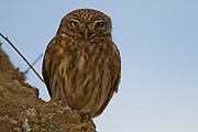 Little owl (athene noctua) perched on a rock cliff. At just 20 centimetres in height this owl is, as its name implies, one of the smallest of its kind. Living off insects, small mammals and small birds. Its habit of hunting at dawn and dusk allows it to prey on both nocturnal and diurnal animals. Photographed in the Negev Desert in May