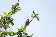 Blue-tit in flowering apple tree