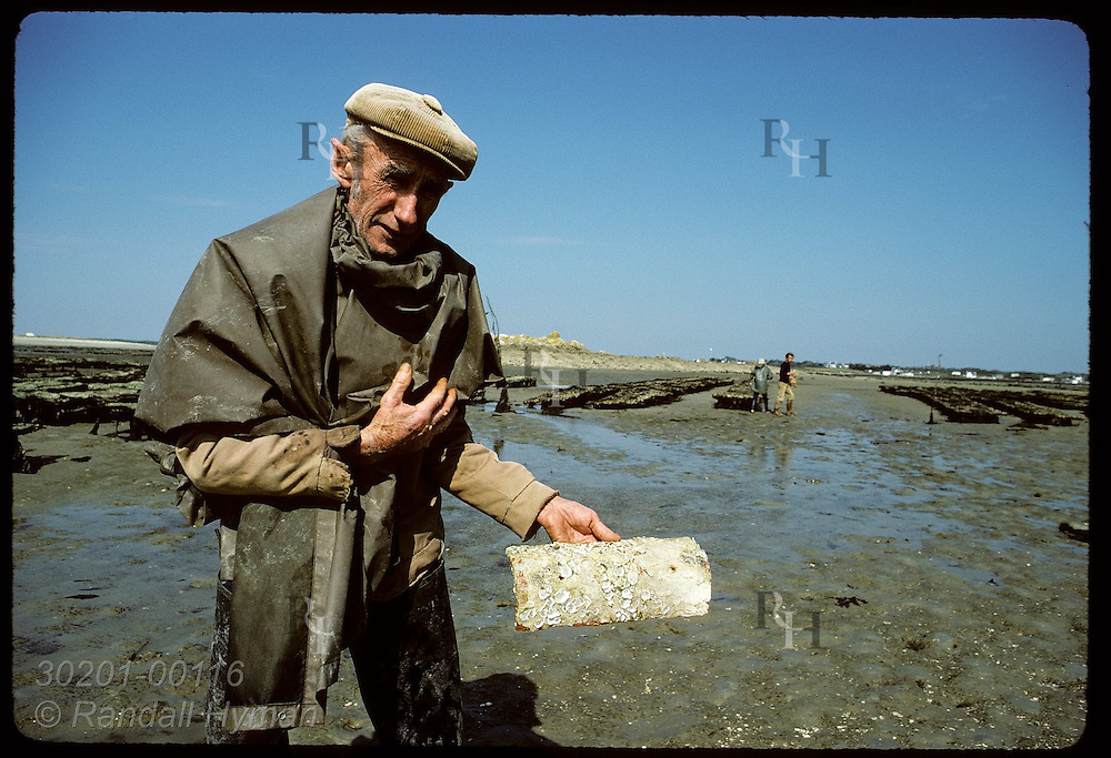 Mr. Audic examines tile covered w/ empty shells of baby flat oysters-past Brittany lifeblood. France