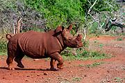 Muddy white rhinoceros (Ceratotherium simum) in Zimanga Private Reserve, South Africa.