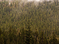 Coniferous Noble Fir forest (Abies procera), Gifford Pinchot National Forest, WA
