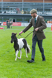 © Licensed to London News Pictures. 19/05/2019. Llanelwedd, Powys, Wales, UK. Miniature horse breed class events take place on the last day of the Smallholding and Countryside Festival - A celebration of rural life – at the Royal Welsh Agricultural Society showground, Llanelwedd in Powys, UK. Photo credit: Graham M. Lawrence/LNP