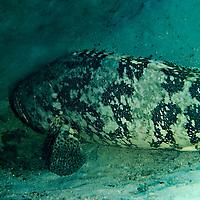 Goliath Grouper, Epinephelus itajara, Grand Cayman
