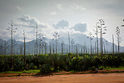 A Sisal plantation on the 17th November 2019 in Morogoro Region, Tanzania. Tanzania is the largest exporter of Sisal and employs over 1 million workers in the country. The plants fibres are used to make rope, carpet and sacks.