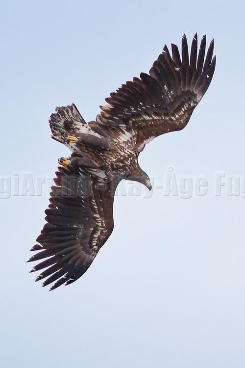 En Havørn stuper etter fisk | White-tailed Eagle diving for fish.