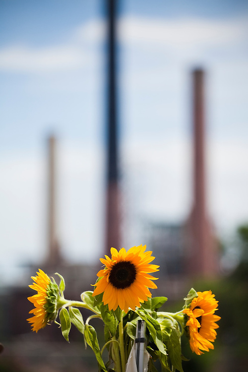 Sunflowers placed in front of the coal-fired Valmont Power Plant in Boulder, Colorado to protest its continued operation.