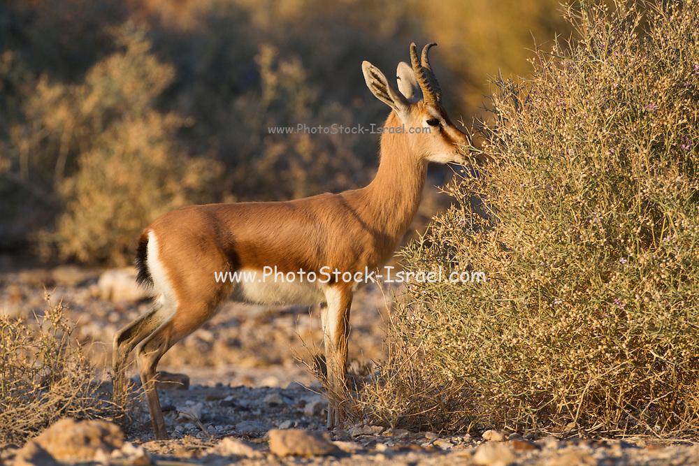 Dorcas Gazelle (Gazella dorcas), also known as the Ariel Gazelle grazing from a desert bush. Photographed in the Negev Desert, Israel