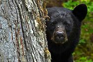 Black bear, Ursus americanus, Blue River, Clearwater, British Columbia, Canada, North America