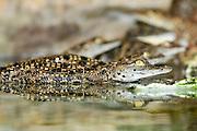 Alligator breeding farm