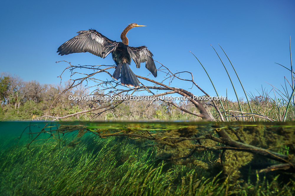 Anhinga perched over clear Florida River<br /> <br /> Isaac Szabo/Engbretson Underwater Photography