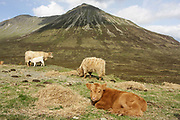 Highland cow, domestic cattle, Bos tarus, calves with mothers, with Glamaig, Isle of Skye, Skye & Lochalsh, Highland.<br /> feed; feeding; suckle; suckling;<br /> animal; animals; mammal; mammals; cattle;<br /> two; pair; couple; several; young; calf; grass; grassland;<br /> whi