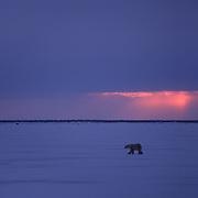 Polar bear strolls along Hudson Bay in the evening.. Canada