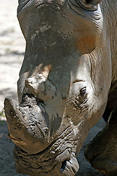 14 May 2013:  White Rhinoceros.  This animal is a captive animal and well cared for by a zoo.