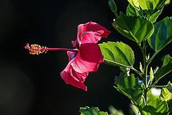 Hibiscus, Arenal Tilaran Conservation Area, Costa Rica.