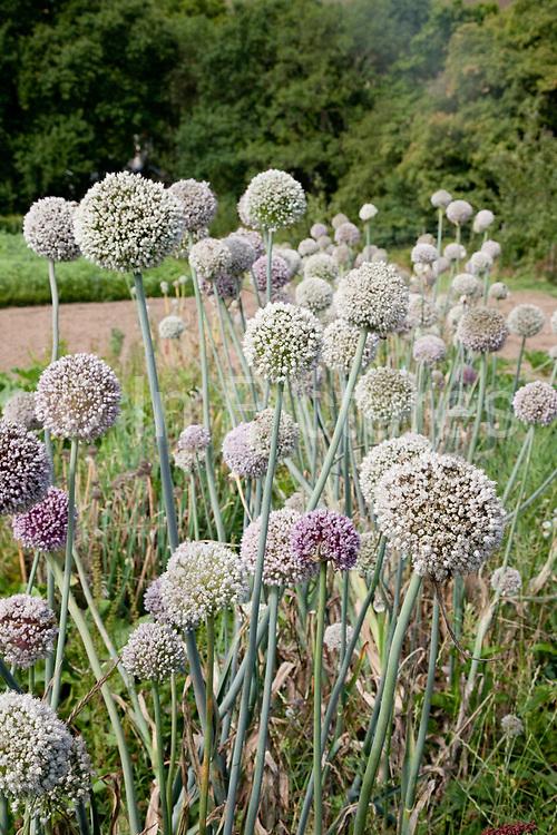 onion flowers, organic community farming project, Devon, UK