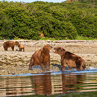 Conflict develops on the shore of Kiniak Bay, Katmai National Park, over the remains of a whale carcass.  Two boars engage in combat while a mother and cub move off to the side to avoid danger.