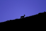 A whitetail buck climbs a grassy ridge at Camp Roberts in Buffalo, WY on June 23, 2017.