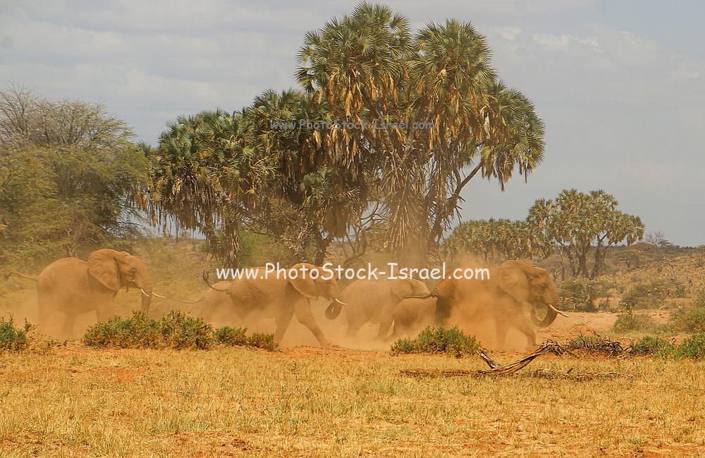 A herd of elephants raising dust. Photographed in the wild in Kenya