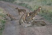 Africa, Tanzania, Serengeti National Park, Lion cubs Panthera leo