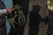 A Shipibo-Konibo healer collects eucalyptus leaves from the community of Cantagallo in Lima where 2000 indigenous people live. Far from the Amazon, eucalyptus leaves are his only resource.