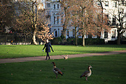 Dog eyes up some grazing geese in Green Park in London, England, United Kingdom. The Green Park is one of the Royal Parks of London. It is located in the City of Westminster.