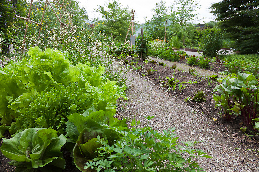 Leaf lettuce and radicchio growing in a kitchen garden.