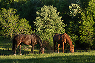 Standardbred horses graze in a field at Kaz Hill Farm in Middletown, N.Y., on May 31, 2020.