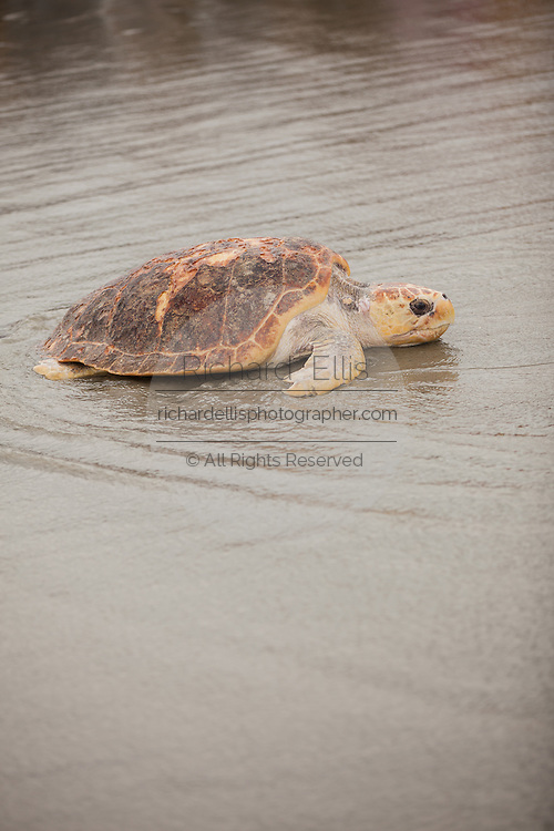 A rehabilitated Loggerhead Sea Turtles makes it's way back to the ocean May 18, 2012 in Isle of Palms, South Carolina. The turtle was one of two that were rescued and nursed back to health by the sea turtle hospital at the aquarium.