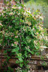 Lonicera caprifolium syn. Lonicera 'Early Cream' - Perfoliate honeysuckle