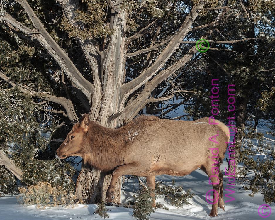 Cow elk steps by a large Utah juniper, fresh snow, pinon-juniper woodland, Grand Canyon National Park, © David A. Ponton