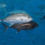 A pair of bigeye jacks (Caranx sexfasciatus), with the male temporarily turned black in preparation for spawning. Another pair of fish also getting ready to spawn is visible in the background. These fish were among a large school of several hundred jacks swimming above the Blue Corner dive site in Palau.