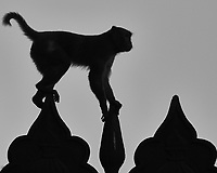 Silhouette of a monkey climbing at the Taj Mahal Image taken with a Nikon 1 V3 camera and 70-300 mm VR lens (ISO 200, 212 mm, f/5.6, 1/1000 sec).