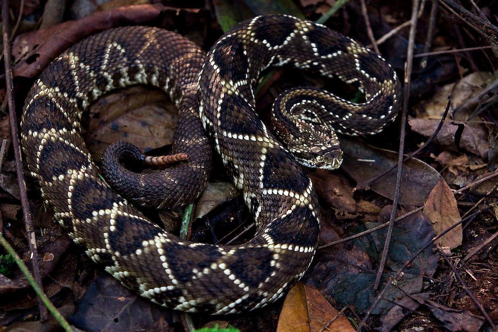 Conceicao de Alagoas_MG, Brasil.<br /> <br /> Estacao Ambiental de Volta Grande. Na foto uma cascavel.<br /> <br /> Volta Grande Environmental Station. In this photo a snake (Crotalus durissus collilineatus).<br /> <br /> Foto: JOAO MARCOS ROSA / NITRO<br /> <br /> <br /> <br /> <br /> <br /> <br /> <br /> <br /> <br /> <br /> <br /> Foto: JOAO MARCOS ROSA / NITRO